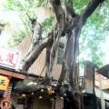 百年夫妻樹